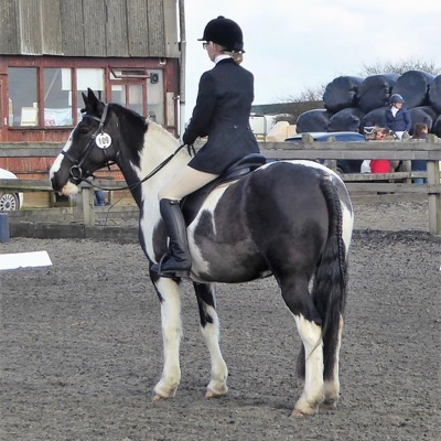 Vella with plaits and bridle numbers at halt at the end of her dressage test