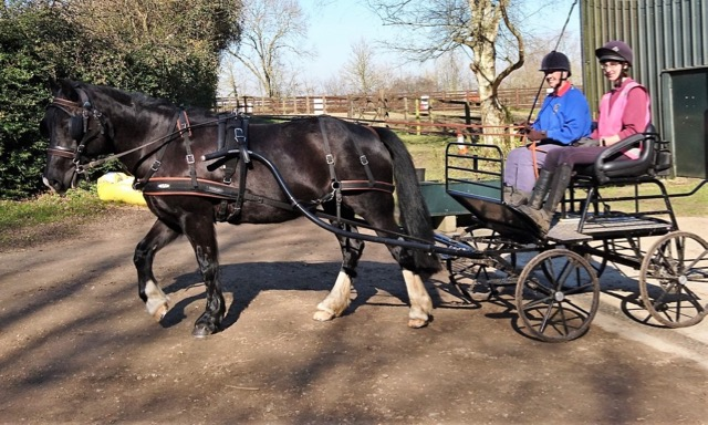Penny the pony in her carriage with Sue driving