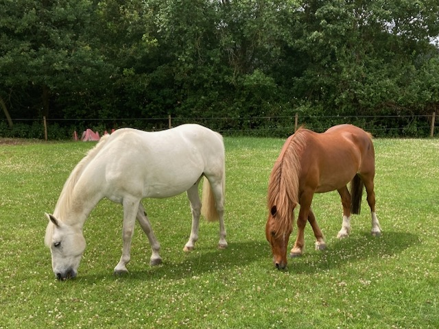 The ponies, Owly and Starra, in the field eating grass
